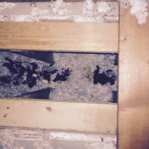 Raccoon feces in an attic wall chase